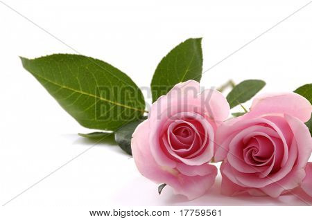 Two pink roses