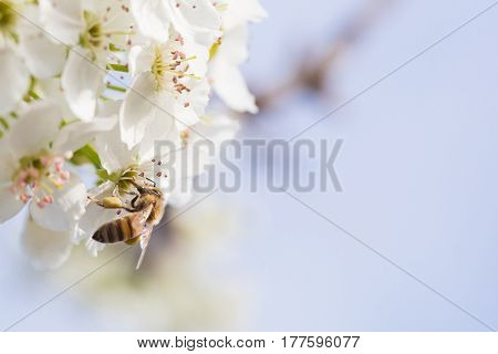 Honeybee Harvesting Pollen From Blossoming Tree Buds.