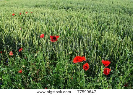 group of beautiful red poppies flowers on a green field of wheat background