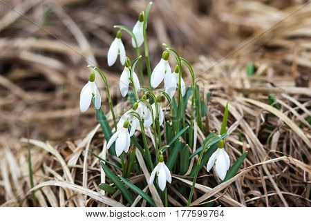 A white snowdrops on the field. Spring flowers