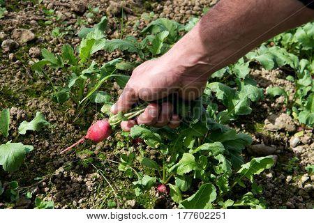 Man Harvesting Or Picking Fresh Radish