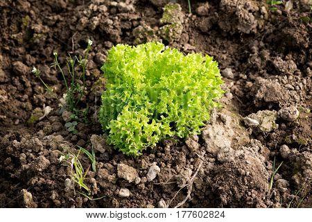 Gourmet Lettuce Plant In Soil