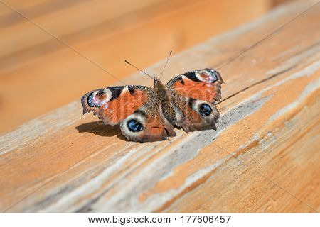 Butterfly with beautiful unfold wings sits on a wooden surface