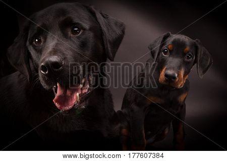 Doberman pinscher (Dobie) puppy and a big black labrador in a studio setting