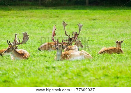 Stags with large antlers sitting in the grass.