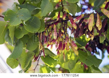 Cercis bush branch blur background with pink pods
