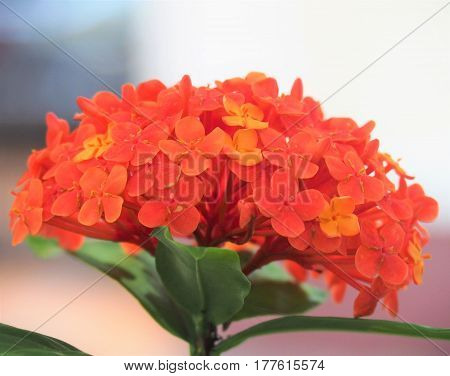 Close Up Of Isolated Red Ixora Coccinea Flower Blossom