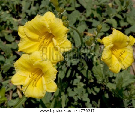 Closeup Of Three Yellow Flowers