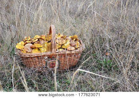 Full basket of edible mushroom. Suillus collinitus, slippery jack, pinarolo fungus, perfectly edible mushroom