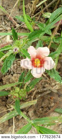 Flor desabrochada, na fazenda limeira - Cícero Dantas-BA