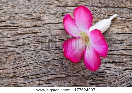 The pink azalea flower on the wood background