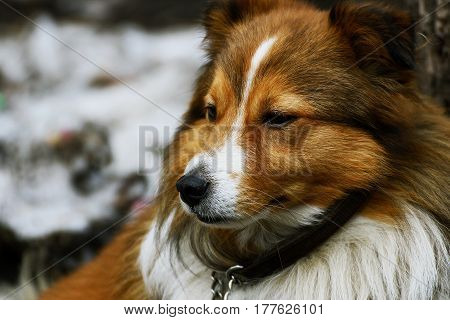 Portrait of a dog. The dog's face with long red hair closeup.