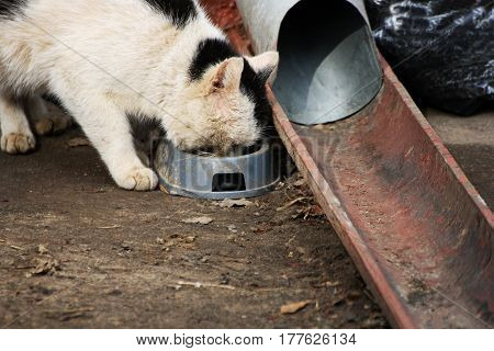 Homeless cat. Big dirty white cat eating from the bowl near the drain.