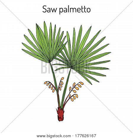 Saw Palmetto Serenoa Repens , Medicinal Tree