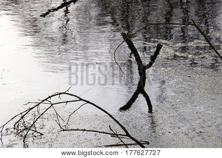 Branches in the cold water in March