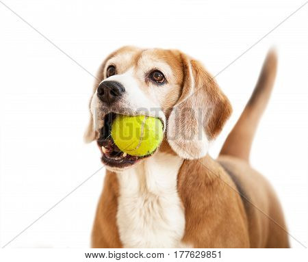 Beagle dog with tennis ball in chops
