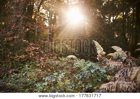 Sun Shining Through Trees In Autumn Woodland