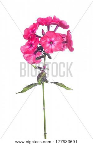 red phlox flowers isolated on white background