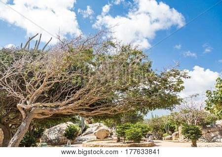 Divi Divi Tree in Aruba Rock Garden under Nice Sky