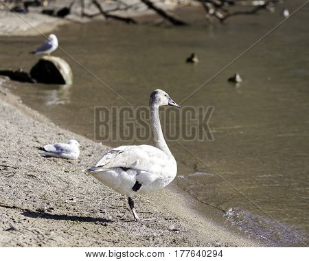 Young trumpeter swan standing on shore of lake with one foot lifted
