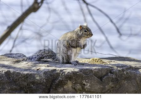 Fluffy gray and brown cute squirrel perched by a pile of seeds ready to eat or defend his food