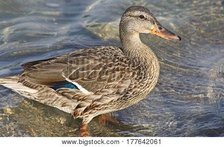 Mallard duck female standing in water at shoreline
