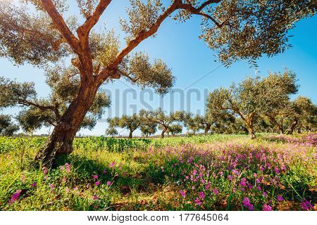 Incredible olive orchard in blossom. Picturesque day and gorgeous scene. Forest in springtime. Location place Sicilia island, Italy, Europe. Wonderful image of wallpaper. Explore the world's beauty.
