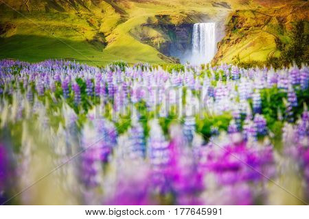Lovely blooming lupine glowing by sunlight in day. Awesome and picturesque scene. Popular tourist attraction. Location place Skogafoss waterfall, Skoga, highlands of Iceland, Europe. Beauty world.