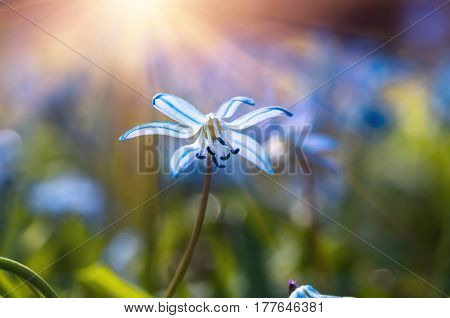 Blue blossom flowers spring snowdrops Scilla Squill Soft focus. nature background.