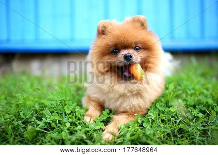 pomeranian, dog, spitz, pet, breed, animal, beautiful, walk, adorable, teddy, mammal, background, playful, blossom, summer, canine, caring, companion, countryside, cute, domestic, face, fluffy, forest, friend, friendly, fun, grass, green, happy, image, lo