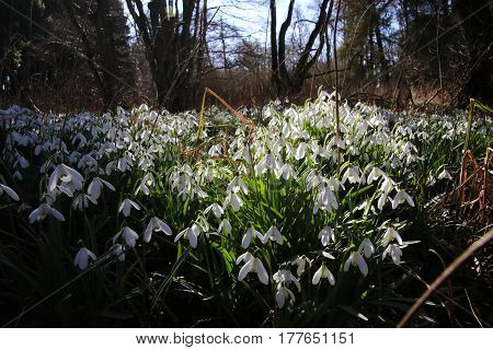 Snowdrops in sun and shade in March