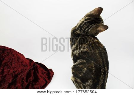 A tabby kitten sitting with her back to the camera next to some velvet fabric