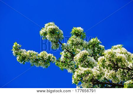 Tree in bloom. Blossoming tree branch with white flowers against a clear blue sky on a sunny spring day. Blooming tree. Spring flowering.