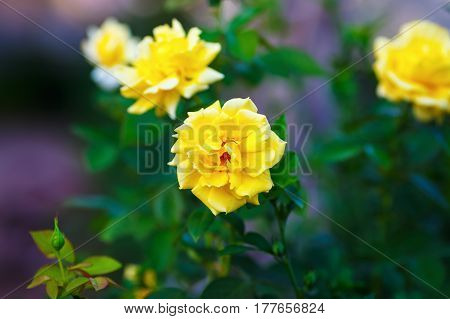 Beautiful yellow rose flowers on blurred background of green leaves outdoors. Shallow depth of field. Selective focus.