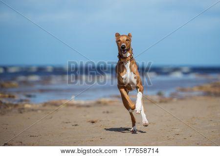 brown azawakh dog running on a beach