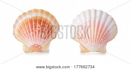 Scallop Shells In A Row.