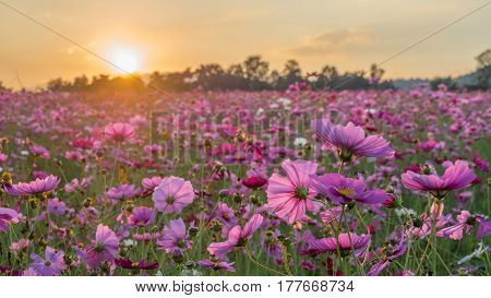 Pink and Red Cosmos flower field in the morning sunrise.Soft focus and blurred for background