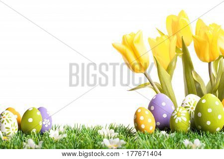 Easter eggs with yellow tulips in grass isolated on white background