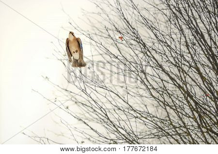 Jay bird in flight with folded wings against the background of tree branches of mountain ash in winter