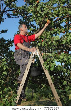 Mid adult farmer at ladder picking apricot fruit from tree in orchard