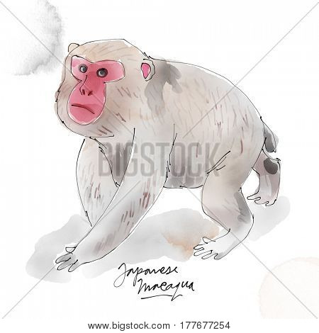 Japanese Macaque. Watercolor animal drawing collection