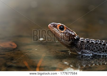 Croc skink Looking up the light from the sky