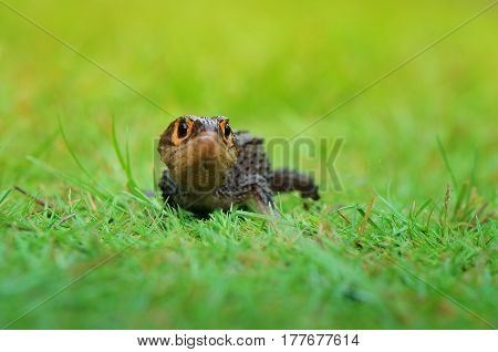 Croc skink playing on the green grass