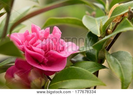 Camellia Japonica 'wilamina