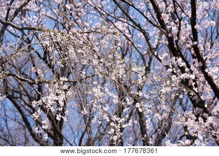 Yoshino Cherry, Cherry blossoms in full bloom, with blue spring sky background.