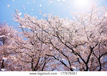 Magnificent  scene of cherry blossoms flower petals floating like confetti , blown in a spring breeze. Focus is the background trees.