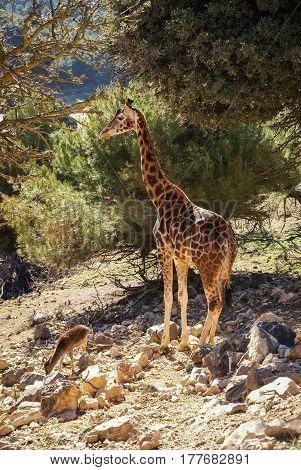 Image of a giraffe in company with capibara