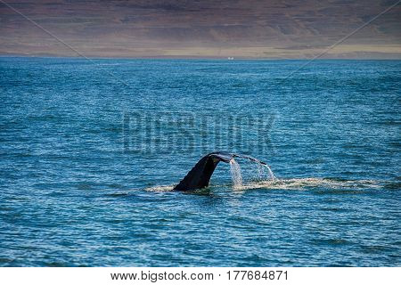 Tail of a whale in Husavik Iceland