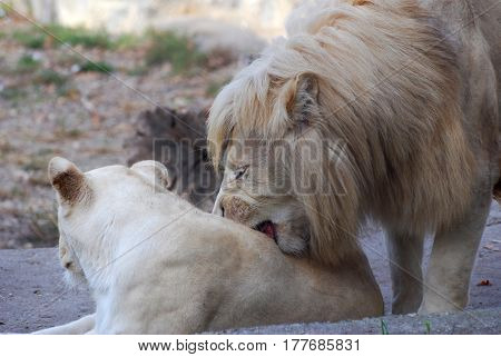 Couple of lions is ready for mating. Close up of pair of lion in love