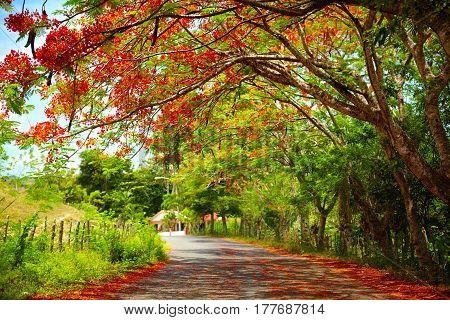 fascinating road under the shadow of blooming Delonix Regia tree that leads to Pico Isabel de Torres Dominican Republic poster